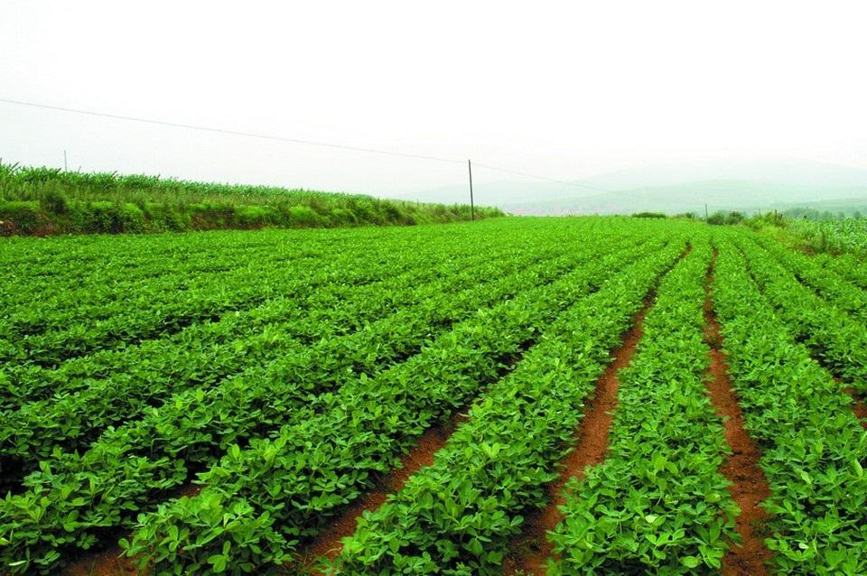 花生种植施肥