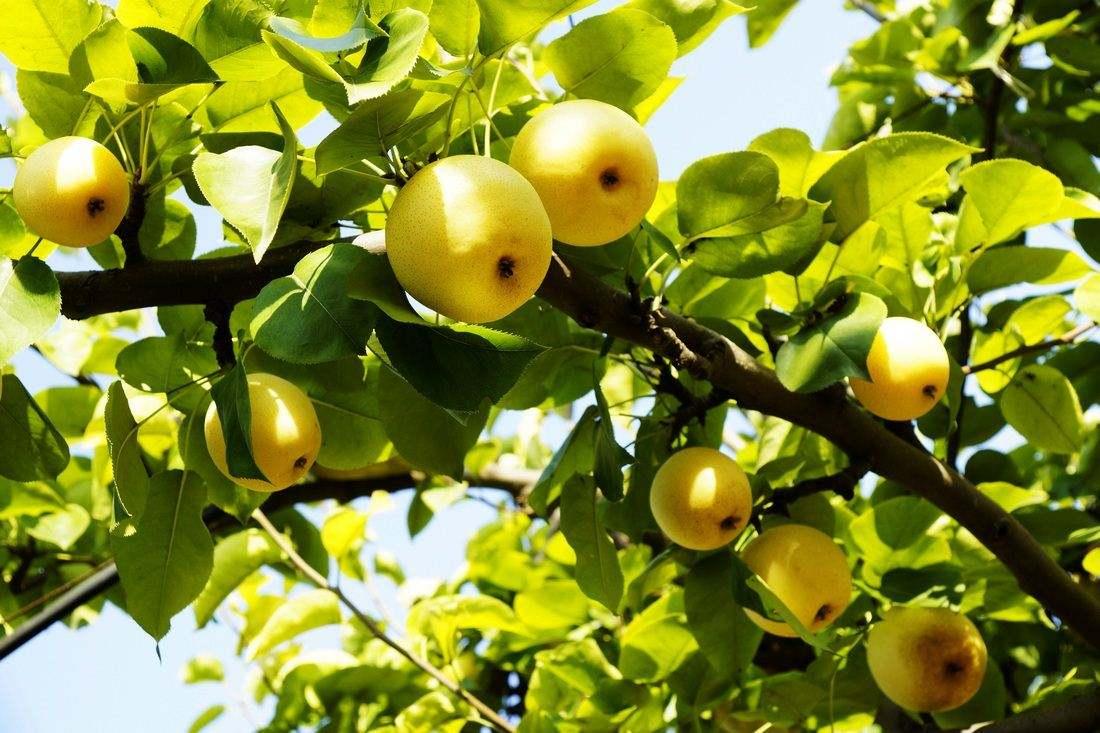 色情片在线梨子种植